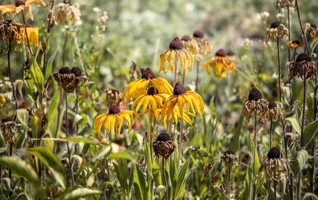Kwiaty echinacea paradoxa bledną na kwietniku. jesień w ogrodzie, kwiaty więdną