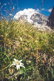 Kwiaty edelweiss zamknąć widok w parku narodowym vanoise we francji