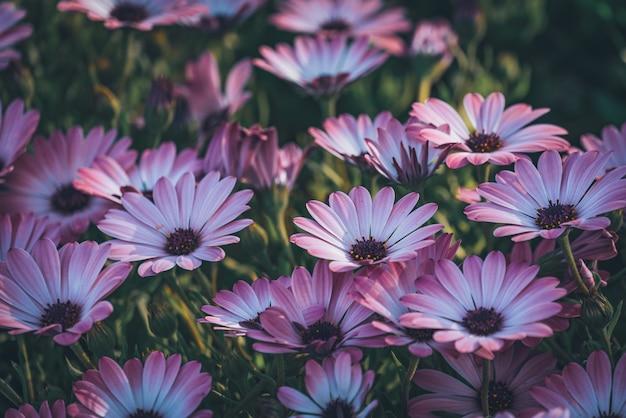 Kwiaty fioletowej stokrotki afrykańskiej
