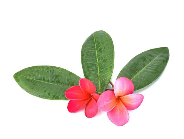 Kwiaty frangipani z liśćmi