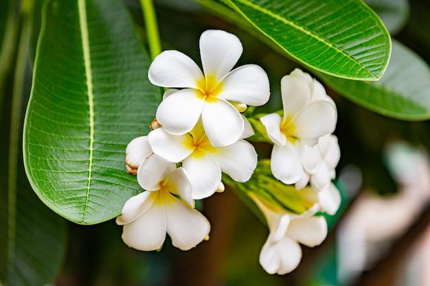 Kwiaty frangipani zamknij się piękną plumeria.