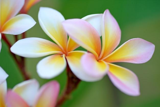 Kwiaty frangipani