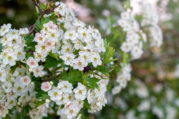 Kwiaty głogu, białe kwiaty głogu na krzaku