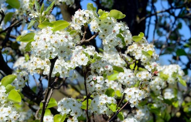 Kwiaty głogu (crataegus monogyna)