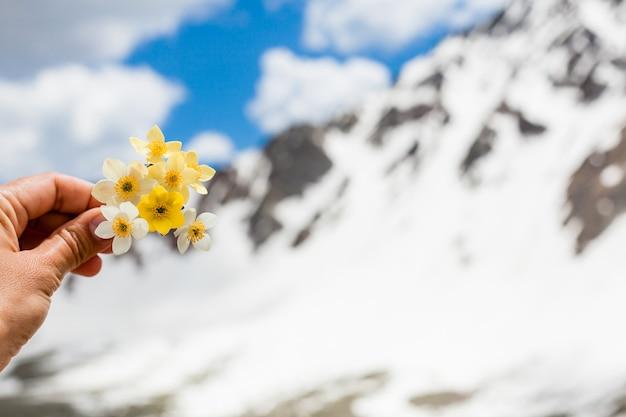 Kwiaty górskie w ręku na tle ośnieżonych gór. krajobraz górski. bukiet żółtych kwiatów