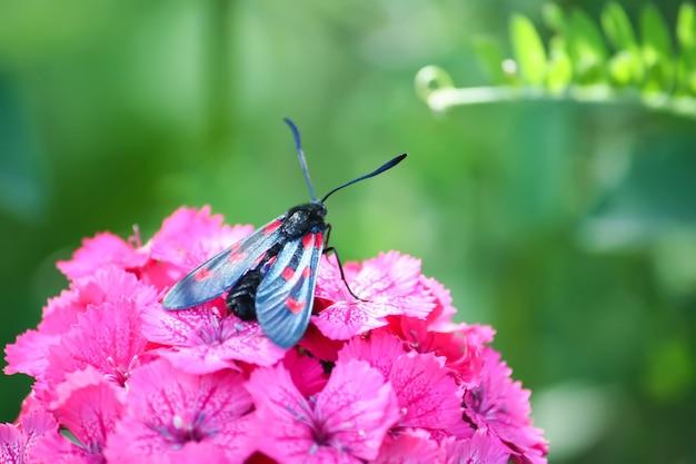 Kwiaty goździków w słońcu. biszkopt sześciomiejscowy zygaena filipendulae - ćma latająca.