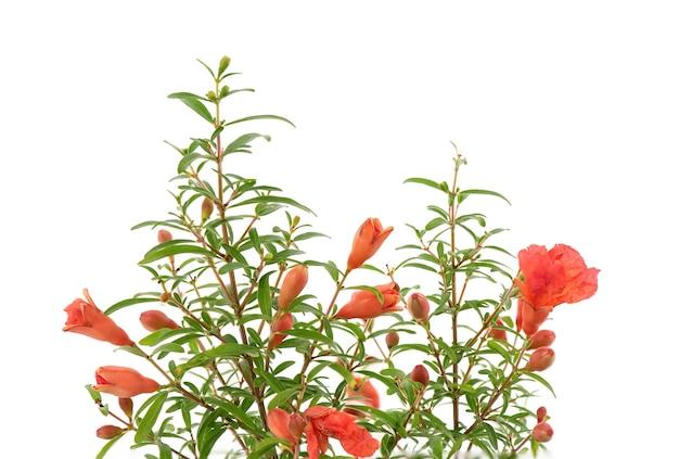 Kwiaty granatu i zielone liście na białym tle.