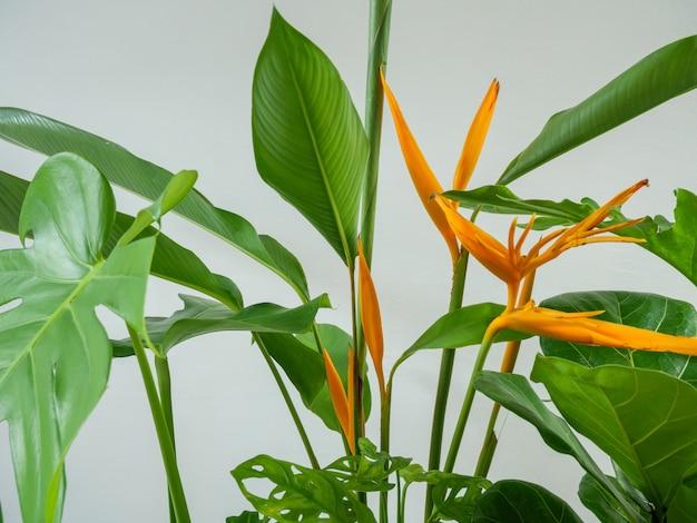 Kwiaty heliconia i rośliny domowe, zielone liście, naturalne oczyszczanie powietrza za pomocą monstera, philodendron xanadu, zamioculcas zamifolia, rośliny węża, figi skrzypcowej w doniczce, słynnego drzewa wewnętrznego