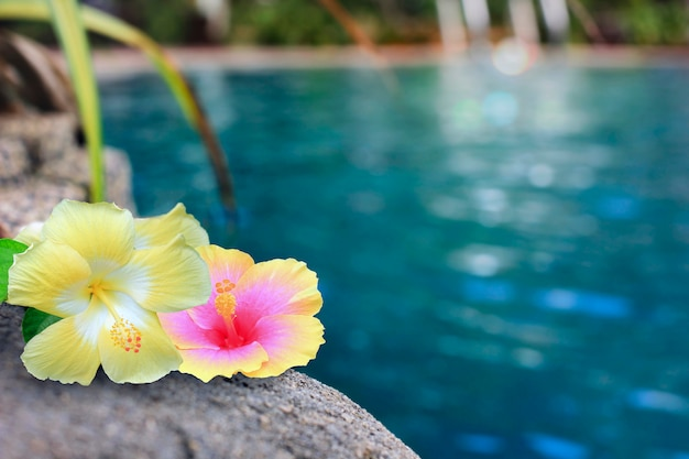 Kwiaty hibiskusa przy basenie.
