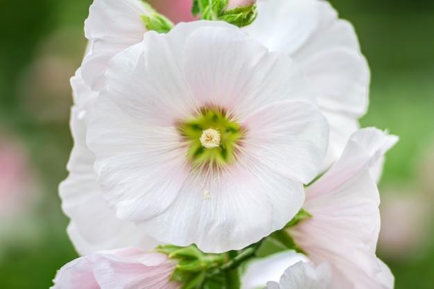 Kwiaty holly hock (hollyhock) białe w ogrodzie