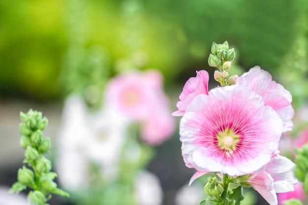 Kwiaty holly hock (hollyhock) różowe w ogrodzie