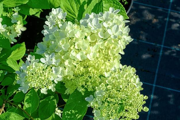 Kwiaty hortensji paniculata z bliska