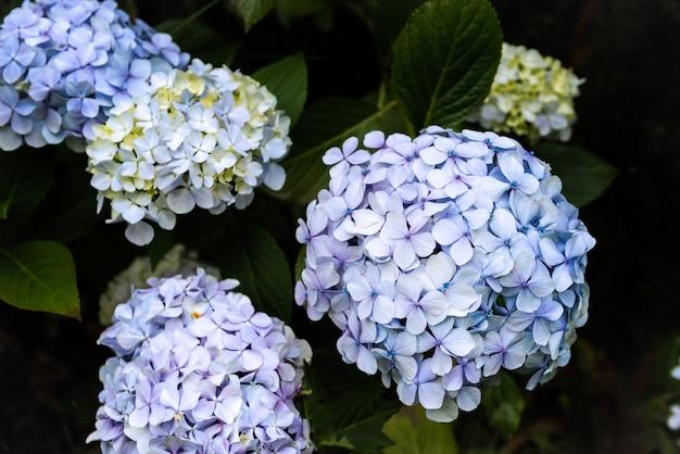 Kwiaty hortensji w ogrodzie