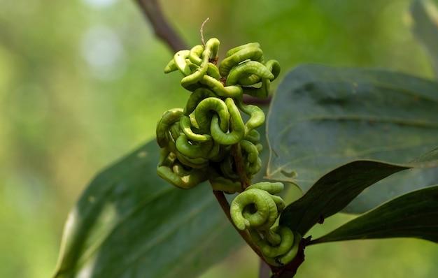 Kwiaty hybrydy akacji hybryda akacji to średniej wielkości drzewo, które wyglądem przypomina akację mangium