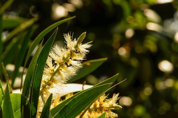 Kwiaty i liście melaleuca cajuputi, płytko skupione, powszechnie znane jako cajuput