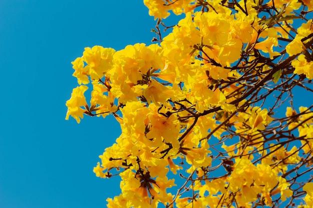 Kwiaty ipe żółtej jest to gatunek drzewa z rodzaju handroanthus