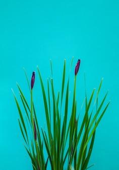 Kwiaty iris pseudacorus na zielonym tle