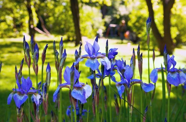 Kwiaty irysa w letnim słonecznym parku miejskim