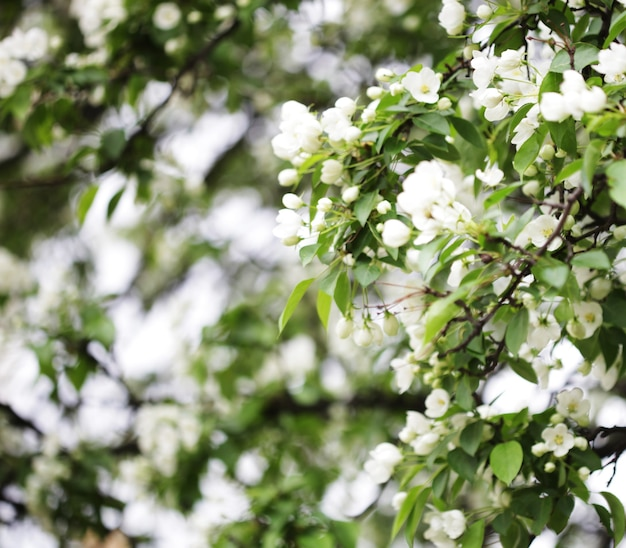Kwiaty jabłoni, czas letni