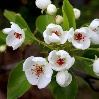 Kwiaty jabłoni na wiosnę w ogrodzie