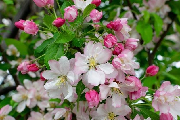 Kwiaty jabłoni w wiosennym ogrodzie zbliżenie