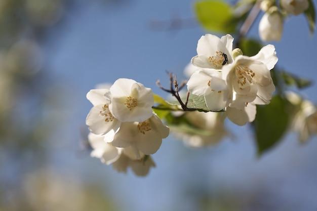 Kwiaty jaśminu kwitną w ciepłym letnim świetle