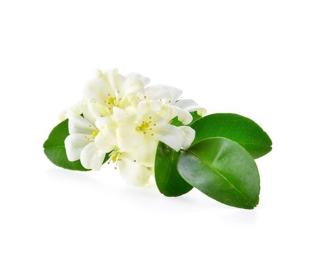 Kwiaty jaśminu na białym tle
