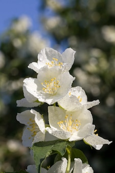 Kwiaty jaśminu
