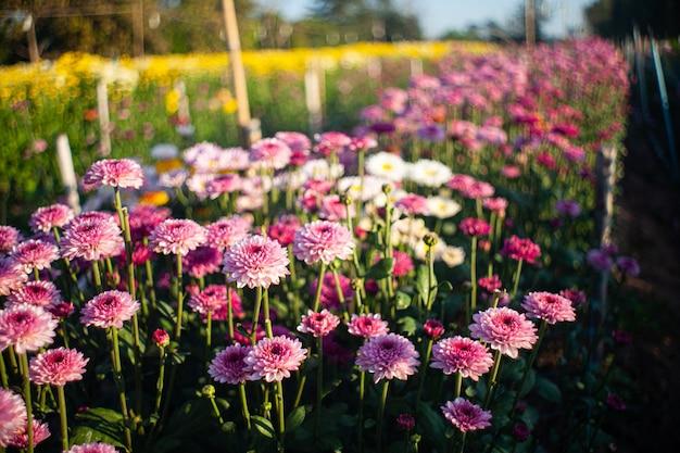 Kwiaty kolorowe w ogrodzie miękkie i wybierz ostrość.