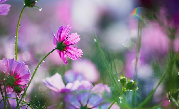 Kwiaty kosmosu w ogrodzie