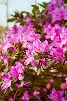 Kwiaty kwitną azalie, różowe rododendronowe pąki na zieleni