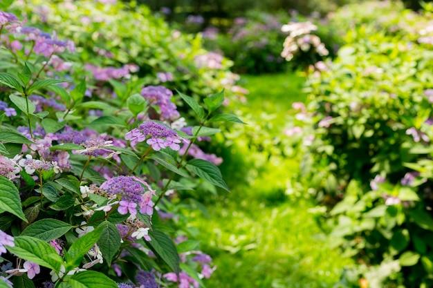Kwiaty kwitną w słoneczny dzień. kwitnąca roślina hortensji. fioletowy hydrangea macrophylla kwitnący wiosną i latem w ogrodzie. baner internetowy, tło natury