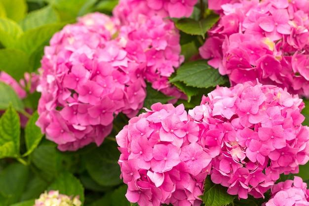Kwiaty kwitną w słoneczny dzień. kwitnąca roślina hortensji. różowa hortensja macrophylla kwitnąca wiosną i latem w ogrodzie. baner internetowy, tło natury