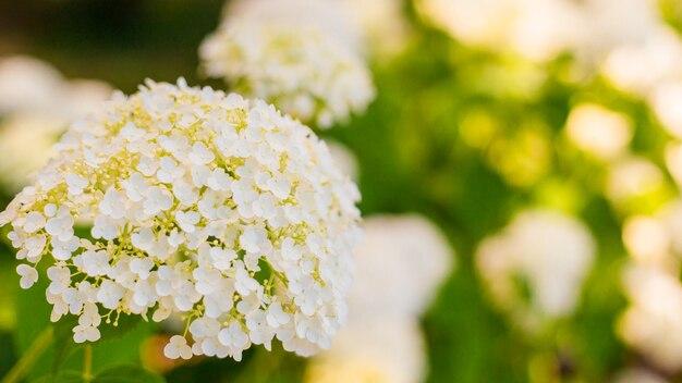 Kwiaty kwitną w słoneczny dzień. kwitnąca roślina hortensji. white hydrangea macrophylla kwitnąca wiosną i latem w ogrodzie. baner internetowy, tło natury