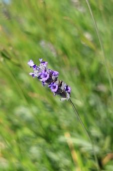 Kwiaty lawendy macha na wietrze przeciwko rozmazane zielone pole