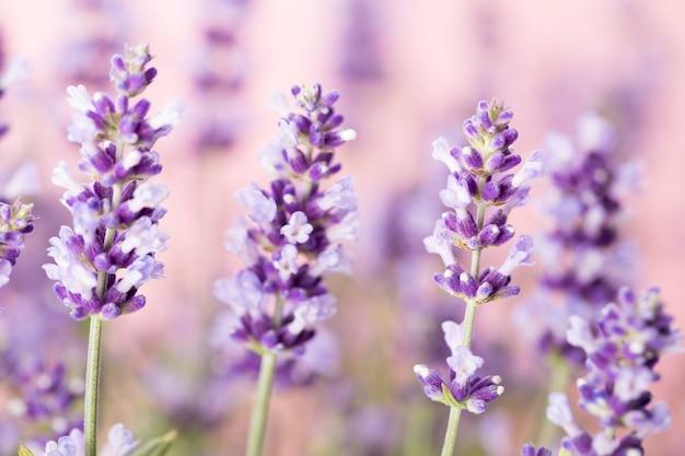 Kwiaty lawendy na naturze