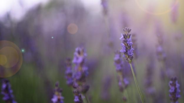 Kwiaty lawendy w kolorze fioletowym i rozbłysku światła zachodzącego słońca do aparatu, które reprezentują zapach relaksacji