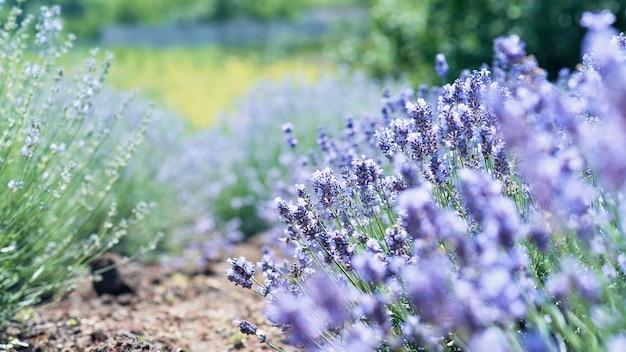 Kwiaty lawendy w lawendowym polu. letnia fioletowa lawenda.