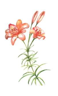Kwiaty lilii. graficzna ilustracja rysowane ręcznie, wektor. oddzielne elementy na białym tle. drukuj, vintage, bazgroły, szkic. kwitnienie, roślinność