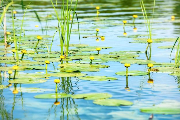 Kwiaty lilii wodnej na stawie z niebieską wodą