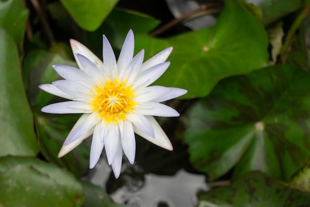 Kwiaty lilii wodnych na powierzchni wody, zdjęcie stockowe