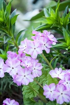 Kwiaty liliowe