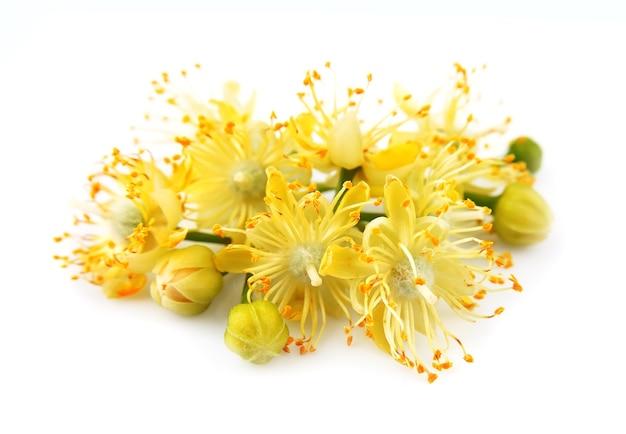 Kwiaty lipy na białym tle