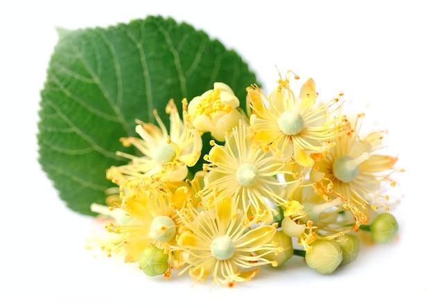 Kwiaty Lipy Na Białym Tle Premium Zdjęcia