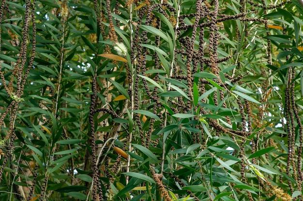 Kwiaty, liście i nasiona melaleuca cajuputi, powszechnie znane jako cajuput. naturalne tło.