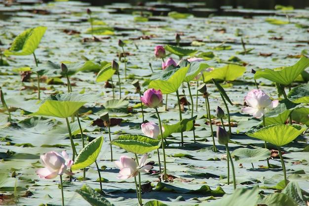 Kwiaty lotosu na jeziorze