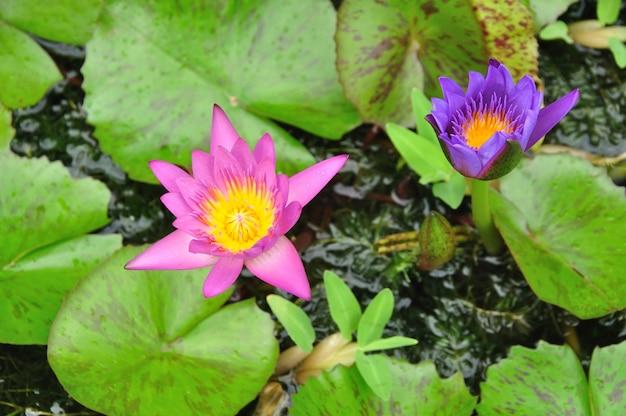Kwiaty lotosu o mocnym kolorze