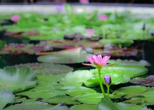 Kwiaty lotosu w naturalnych stawach
