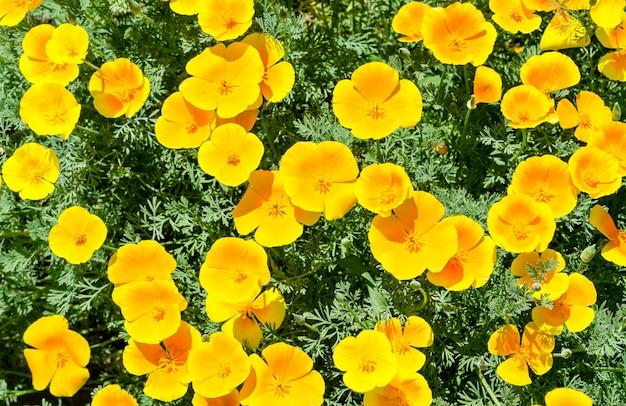 Kwiaty maku kalifornijskiego (eschscholzia californica)