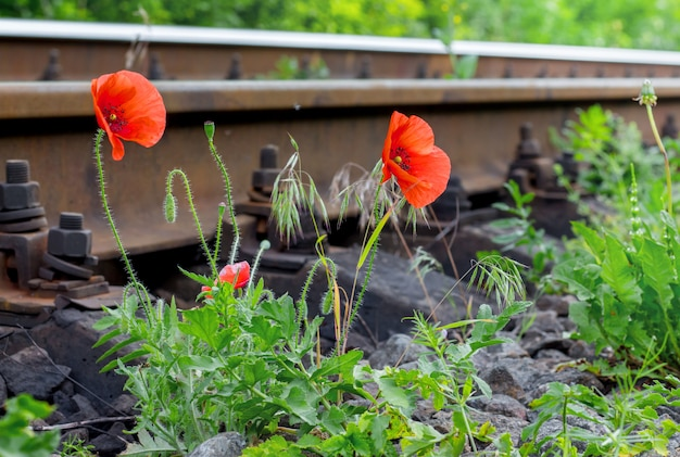 Kwiaty maku w pobliżu linii kolejowej. fajna wycieczka